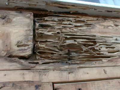 Carpenter Ant damage to dry wood.