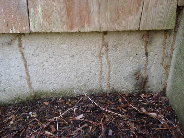 Termite shelter tubes on the foundation.